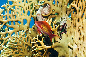 Lyretail anthias / Goldie (Pseudanthias squamipinnis) male, swimming in front of Fire coral (Millepora dichotoma) Egypt, Red Sea.  -  Georgette Douwma