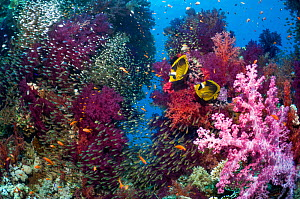 Coral reef scenery with a pair of Red Sea raccoon butterflyfish (Chaetodon fasciatus), Pygmy sweepers (Parapriacanthus guentheri) and soft corals (Dendronephthya sp) Egypt, Red Sea.  -  Georgette Douwma