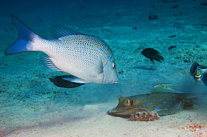 Spangled emperor (Lethrinus nebulosus) watching a Blue spotted ribbontail ray (Taeniura lymna) that is burrowing in the sandy bottom for prey. Egypt, Red Sea. - Georgette Douwma