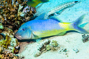 Yellowsaddle goatfish (Parupeneus cyclostomus) hunting small prey in coral branches. Egypt, Red Sea.  -  Georgette Douwma