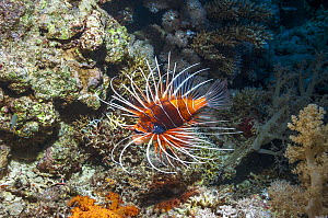 Clearfin / Radial lionfish (Pterois radiata) Egypt, Red Sea.  -  Georgette Douwma