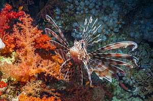 Common lionfish / Devil firefish (Pterois miles) Egypt, Red Sea, endemic species.  -  Georgette Douwma