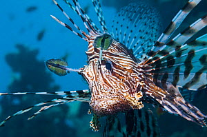 Common lionfish / Devil firefish (Pterois miles)  Egypt, Red Sea, endemic.  -  Georgette Douwma