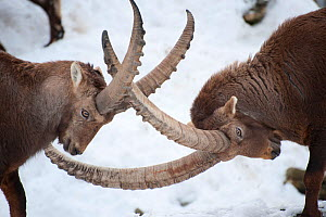 Ibex (Capra ibex) males fighting, Jura, Switzerland, captive  -  Eric  Medard