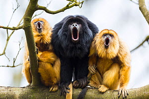 Black howler monkeys (Alouatta caraya) male and two females calling from tree, captive, Apenheul Park, Netherlands.  -  Juan  Carlos Munoz