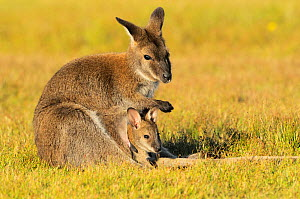 Bennett's Wallaby (Macropus rufogriseus) female with joey in pouch, Tasmania, Australia.  -  Dave Watts