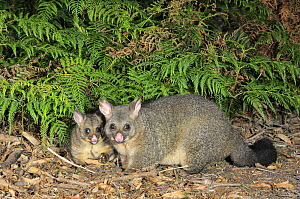 Common Brushtail Possum (Trichosurus vulpecula) female with large joey, Tasmania, Australia. - Dave Watts