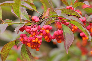 Spindle (Euonymus europaeus) 'Red Cascade' close up of berries, England, UK, October.  -  Dave Watts