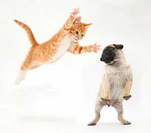 Ginger kitten leaping towards a Pug puppy. Digital composite. NOT AVAILABLE FOR BOOK USE  -  Mark Taylor