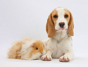 Orange-and-white Beagle puppy and alpaca Guinea pig. NOT AVAILABLE FOR BOOK USE - Mark Taylor