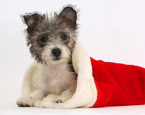 Jack Russell x Westie puppy, Mojo, 12 weeks, in a Father Christmas hat.  -  Mark Taylor