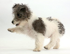 Jack Russell x Westie puppy, Mojo, 12 weeks, with raised paw.  -  Mark Taylor