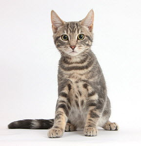 Tabby cat, Max, 5 months, sitting. - Mark Taylor