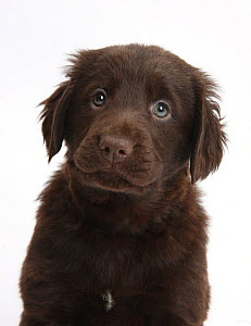 Liver Flatcoated Retriever puppy, 6 weeks.  -  Mark Taylor