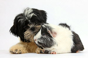 Black-and-white Shih-tzu puppy and Guinea pig. NOT AVAILABLE FOR BOOK USE  -  Mark Taylor