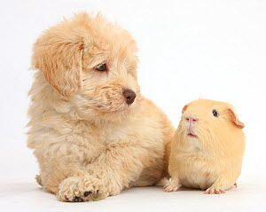 Cute Toy Goldendoodle puppy and Guinea pig. NOT AVAILABLE FOR BOOK USE - Mark Taylor