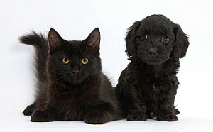 Black Maine Coon kitten and cute Doxiedoodle puppy. NOT AVAILABLE FOR BOOK USE  -  Mark Taylor