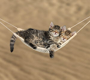 Two cute tabby kittens, Stanley and Fosset, 7 weeks, sleeping in a hammock. - Mark Taylor