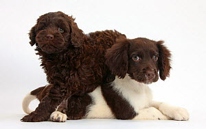 Chocolate-and-white Cocker Spaniel puppy and chocolate Goldendoodle puppy. NOT AVAILABLE FOR BOOK USE - Mark Taylor