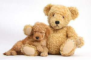 Cute Toy goldendoodle puppy sleeping on teddy bear. - Mark Taylor