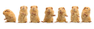 Composite image of 'dancing' guinea pig, standing on hind legs sequence  -  Jane Burton
