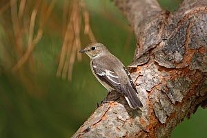 Pied flycatcher (Ficedula hypoleuca) perched on branch, Algarve, Portugal, September.  -  Robin Chittenden