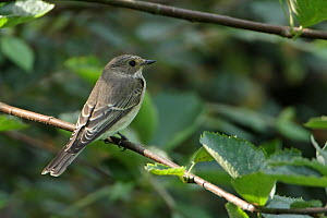 Spotted flycatcher (Muscicapa striatas) perched on twig, Norfolk, UK, September.  -  Robin Chittenden