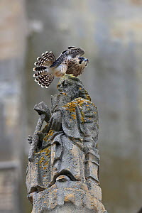 Peregrine falcon (Falco peregrinus) on statue's head, Norwich Cathedral, Norfolk, UK, June  -  Robin Chittenden