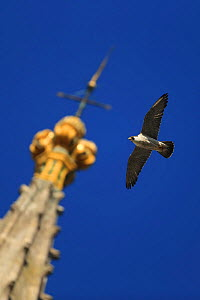 Peregrine falcon (Falco peregrinus) flying past spire, Norwich Cathedral, Norfolk, UK, June. - Robin Chittenden
