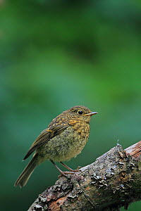 European robin (Erithacus rubecula) perched on branch, Norwich, Norfolk, UK, July. - Robin Chittenden