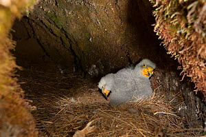Kea (Nestor notabilis) two week chicks in burrow nest in tussock high country above tree line, Castle Hill, Southern Alps, South Island, New Zealand, October.  -  Tui De Roy