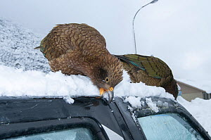 Keas (Nestor notabilis) damaging vehicle, Arthur's Pass National Park, Southern Alps, New Zealand, August.  -  Tui De Roy