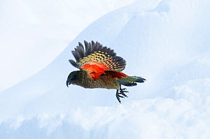 Kea (Nestor notabilis) in flight, Arthur's Pass National Park, Southern Alps, New Zealand, August.  -  Tui De Roy