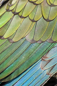 Kea (Nestor notabilis) close up of wings, Arthur's Pass National Park, Southern Alps, New Zealand, August.  -  Tui De Roy