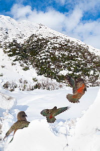 Keas (Nestor notabilis) in habitat, Arthur's Pass National Park, Southern Alps, New Zealand, August.  -  Tui De Roy