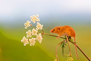 Harvest mouse (Micromys minutus) on stalk, West Country Wildlife Photography Centre, captive, June.  -  David Pike