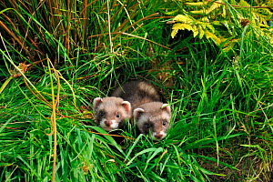 Two European polecat kittens (Mustela putorius) in grass, West Country Wildlife Photography Centre, captive, July.  -  David Pike