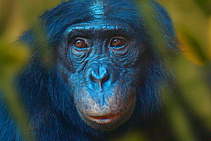 Bonobo (Pan paniscus) captive, portrait, occurs in the Congo Basin.  Leaves digitally added.  -  Ernie  Janes