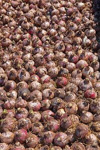 Hyacinth bulbs collected and stored after flowering Blickling Hall Garden, Norfolk, England, UK, June  -  Ernie  Janes
