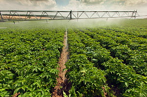 Irrigation on potato field, Norfolk, UK, July  -  Ernie  Janes