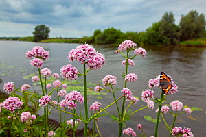 Marsh Valerian (Valeriana dioica) with Small Tortoishell Butterfly (Aglais urticae) feeding, River Yare, Norfolk, July. - Ernie  Janes