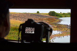 Camera set up at window of hide, to photograph Oystercatchers (Haematopus ostralegus) at high tide roost at RSPB Snettisham Reserve, Norfolk, England, UK, August.  -  Ernie  Janes