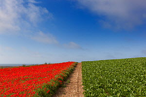 Field Poppies Pavaver rhoea and Sugar beet crop in Norfolk Field UK July  -  Ernie  Janes