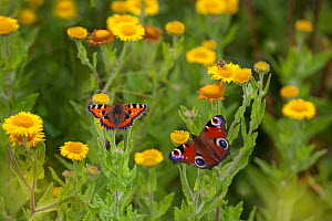 Small tortoiseshell butterfly (Aglais urticae) and Peacock butterfly (Inachis io) feeding on Common fleabane (Pulicaria dysenterica) England, UK, August.  -  Ernie  Janes