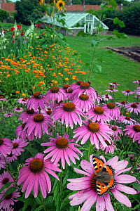 Small Tortoisehell Butterfly (Aglais urticae) on cone flowers (Echinacea) in garden with greenhouse in background  England, UK, August.  -  Ernie  Janes