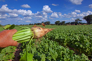 Person inspecting Sugar beet crop in drought conditions, Norfolk, August 2013.  -  Ernie  Janes