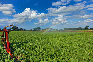 Irrigation of sugar beet crop in drought conditions, Norfolk, England, UK, August 2013  -  Ernie  Janes