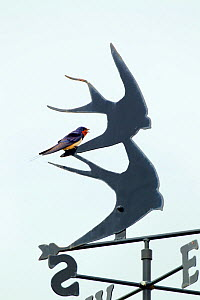 Swallow (Hirundo rustica) adult perched on swallow weather vane, England, UK, June. - Ernie  Janes