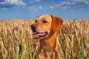 Yellow Labrador and in wheat field, Norfolk, August  -  Ernie  Janes
