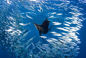 Indo Pacific Sailfish (Istiophorus platypterus) feeding on sardines (Sardina pilchardus), Isla Mujeres, Mexico, March.  -  Chris & Monique Fallows